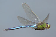 dragonfly wing position