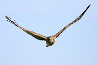 hawk wing position