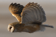 owl wing position